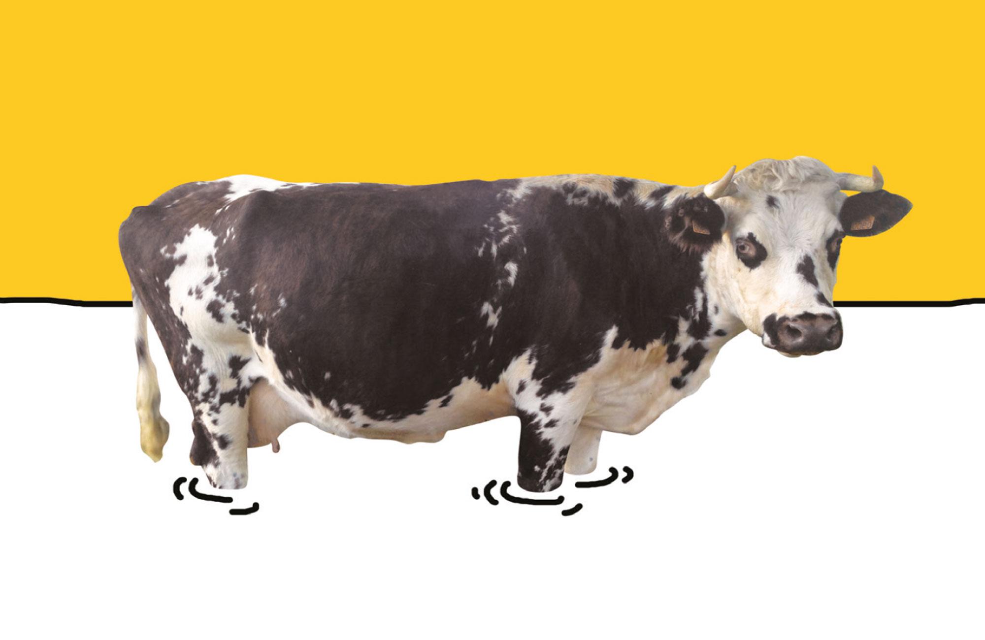 Une vache avec du lait jusqu'aux genoux