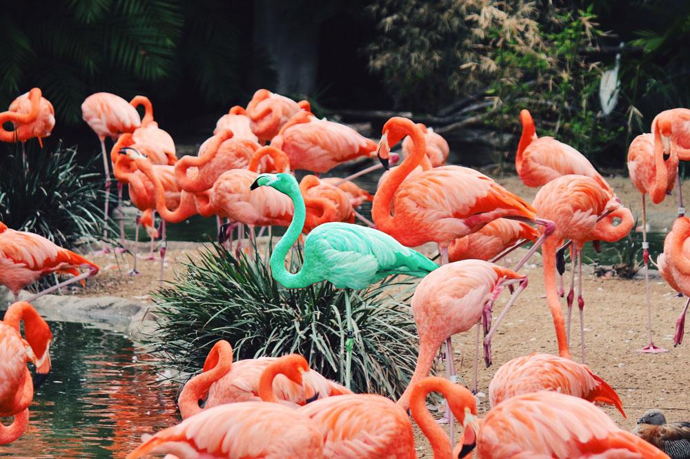 troupeau de flamants roses et un vert au milieu