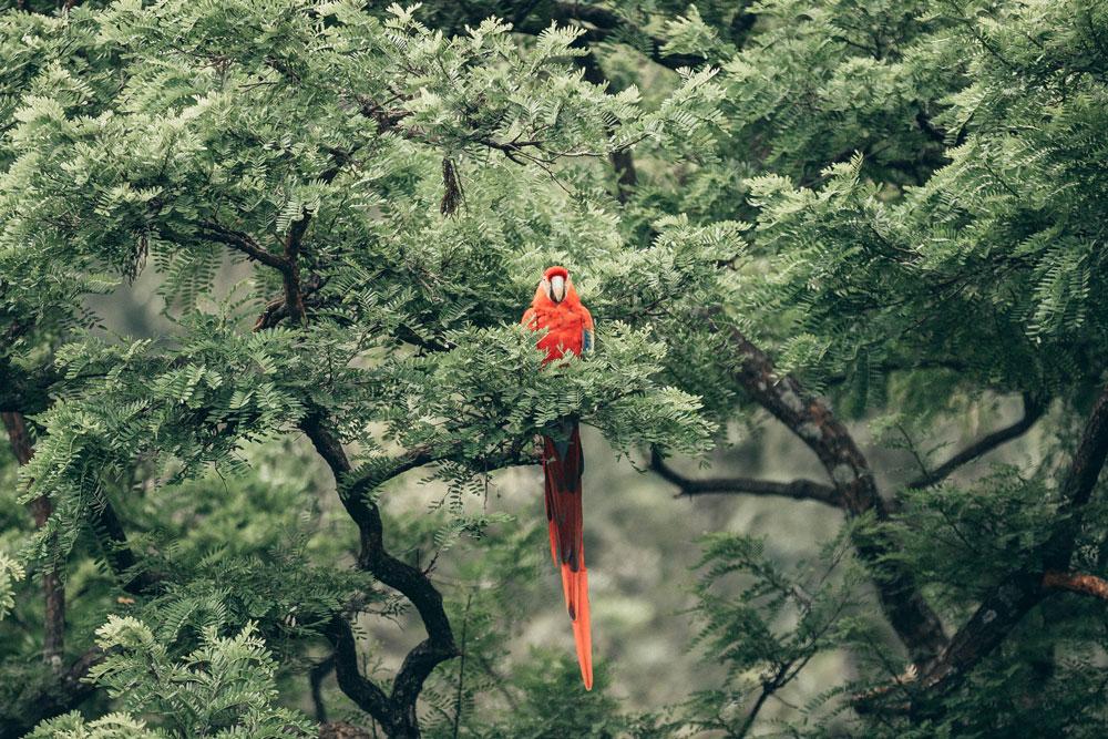 Perroquet rouge dans une jungle verte